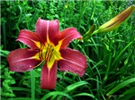 .red daylily.
