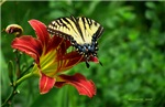 .swallowtail on daylily.
