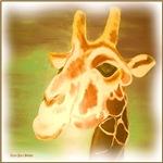 Henri  the Giraffe