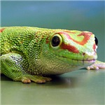 Day Gecko Gifts
